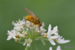 Insekt op bloem