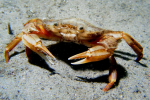 Oranje krabbetje