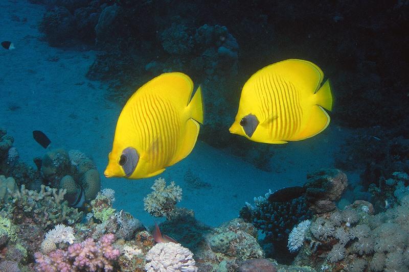Gele koraalvlinder