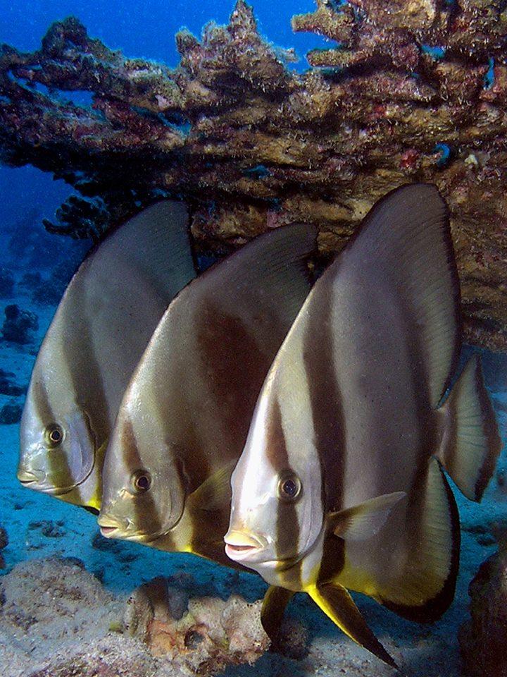 Drie vleermuisvissen op een rij