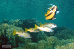 Twee Rode Zee Wimpelvissen met daaronder vier Rugvleksnappers