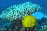 Gele koraalvlinder, Marsa Shagra 2019