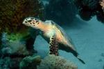 Karetschildpad