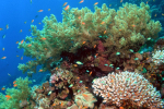 Formatie zacht koraal