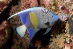 Bruid van de Zee, Yellowbar Angelfish