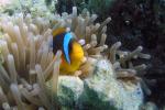 Rode Zee Anemoonvisje in anemoon