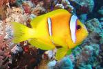 Rode Zee anemoonvis