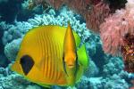 Paartje gele koraalvlinders
