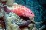 Rode Zee tandbaars
