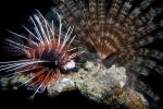 Sierlijke koraalduivel