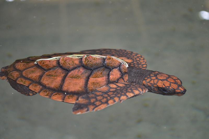 Schildpaddenfarm in Kosgoda