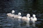 Vier op een rij, jonge zwaantjes