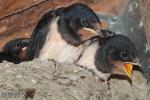 Jonge zwaluwen op nest