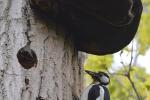 Vrouwtje bonte specht bij nest