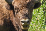 Close-up Wisent
