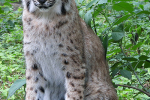 Prachtige jonge lynx,  juni 2020