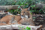 Prachtig getekende jonge lynx,  juni 2020