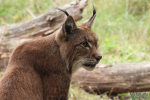 Vader Lynx op de uitkijk 27 augustus