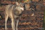 Europese wolfen