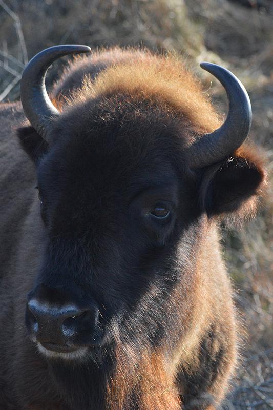 Close up Wisent, Nationaal Park Zuid-Kennemerland