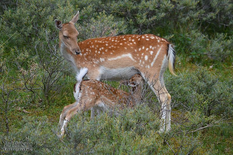 Mamma Damhert zoogt haar jong