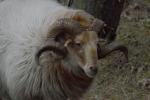 Ram met schitterend mooie horens