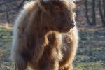 Schotse Hooglander, Nationaal Park Zuid-Kennemerland