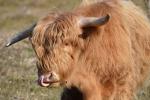 Schotse Hooglander likt zijn neus, Nationaal Park Zuid-Kennemerland