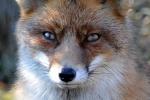 Wat een prachtige kop heeft deze sluwe vos