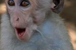 Baby aapje Sri Lanka