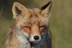 Sluwe blik heeft deze vos