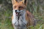 Sluwe vos op de uitkijk