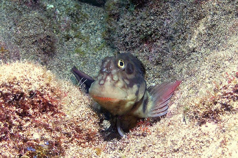 Rots Slijmvis met zijn guitige kop