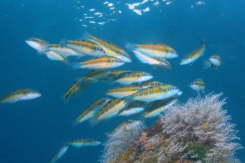 Wow dat zijn veel gekleurde visjes, Pauwlipvis vrouwtjes