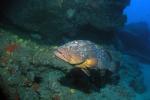 Enorm grote bruine tandbaars op 37 meter diep