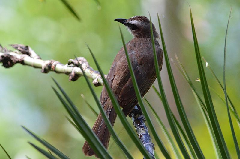 Balinese zangvogel