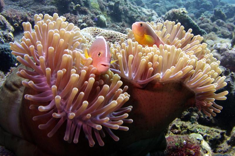 Anemoonvisjes in diverse soorten