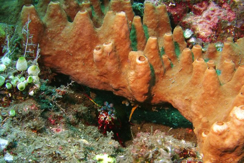 Een bidsprinkhaan (mantis shrimp)