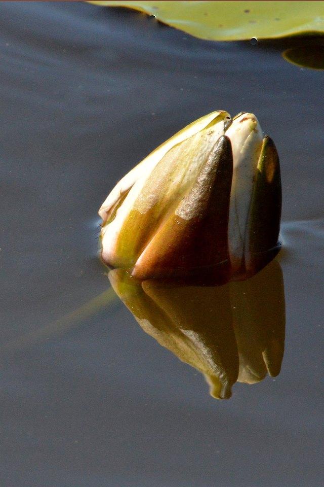 Witte waterlelie in knop