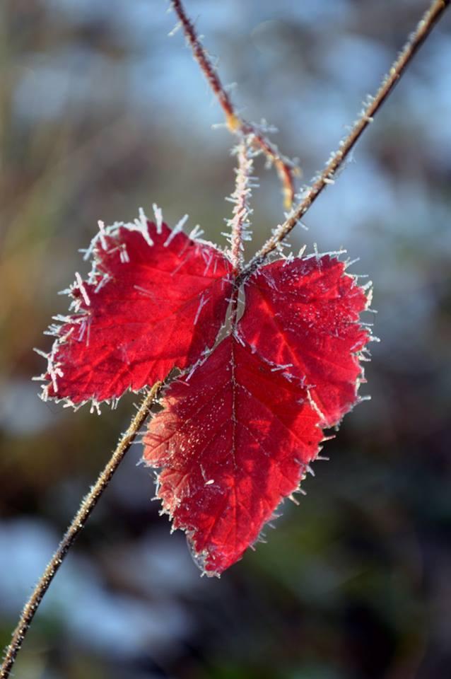 Rood blad tijdens vorst
