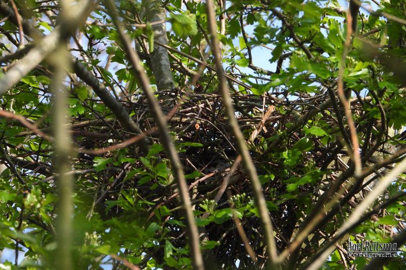Nest sperwers klaar