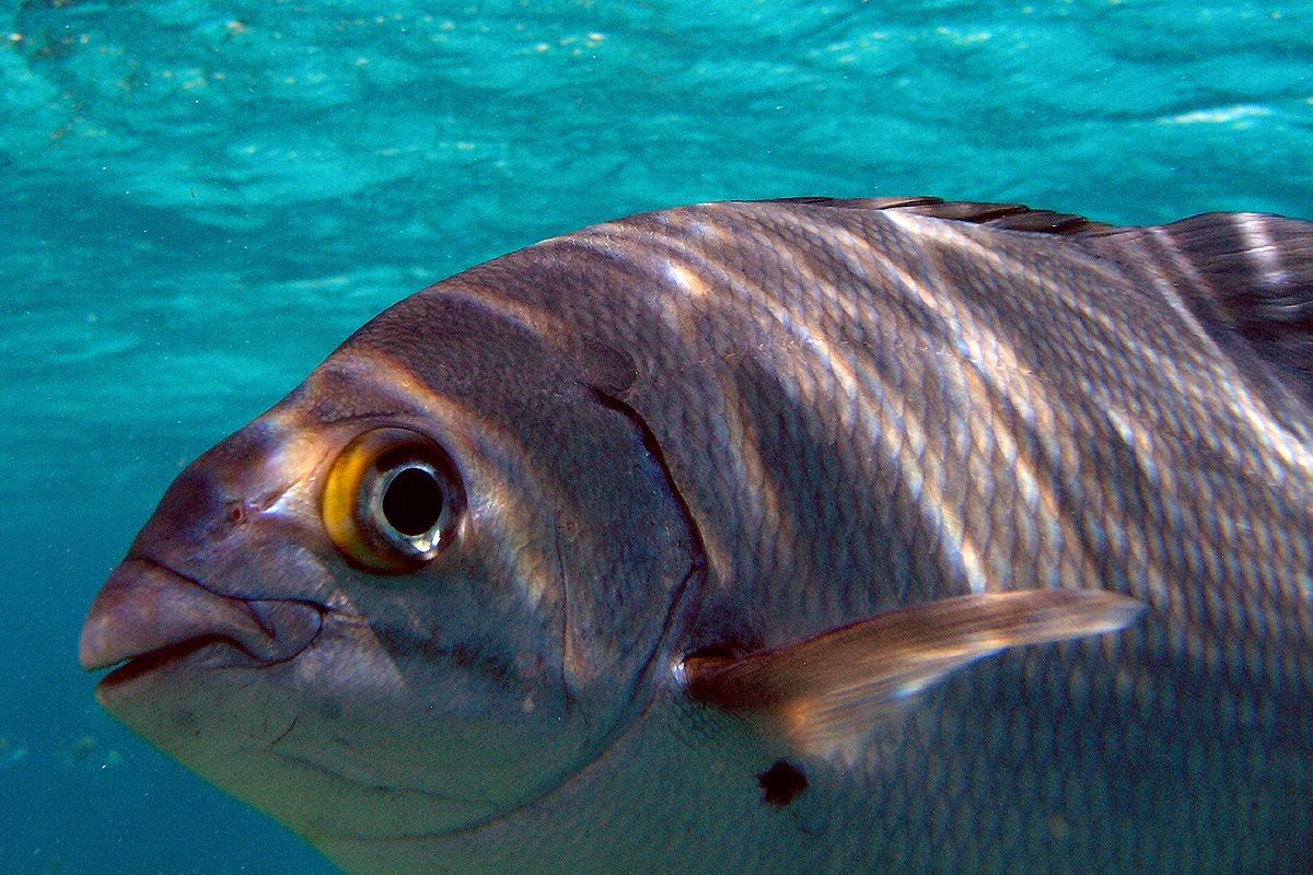 Close-up Zeebrasem Cuba