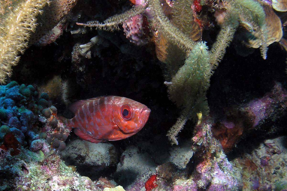 Big eye  Curacao