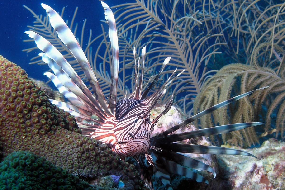 Koraalduivel Curacao