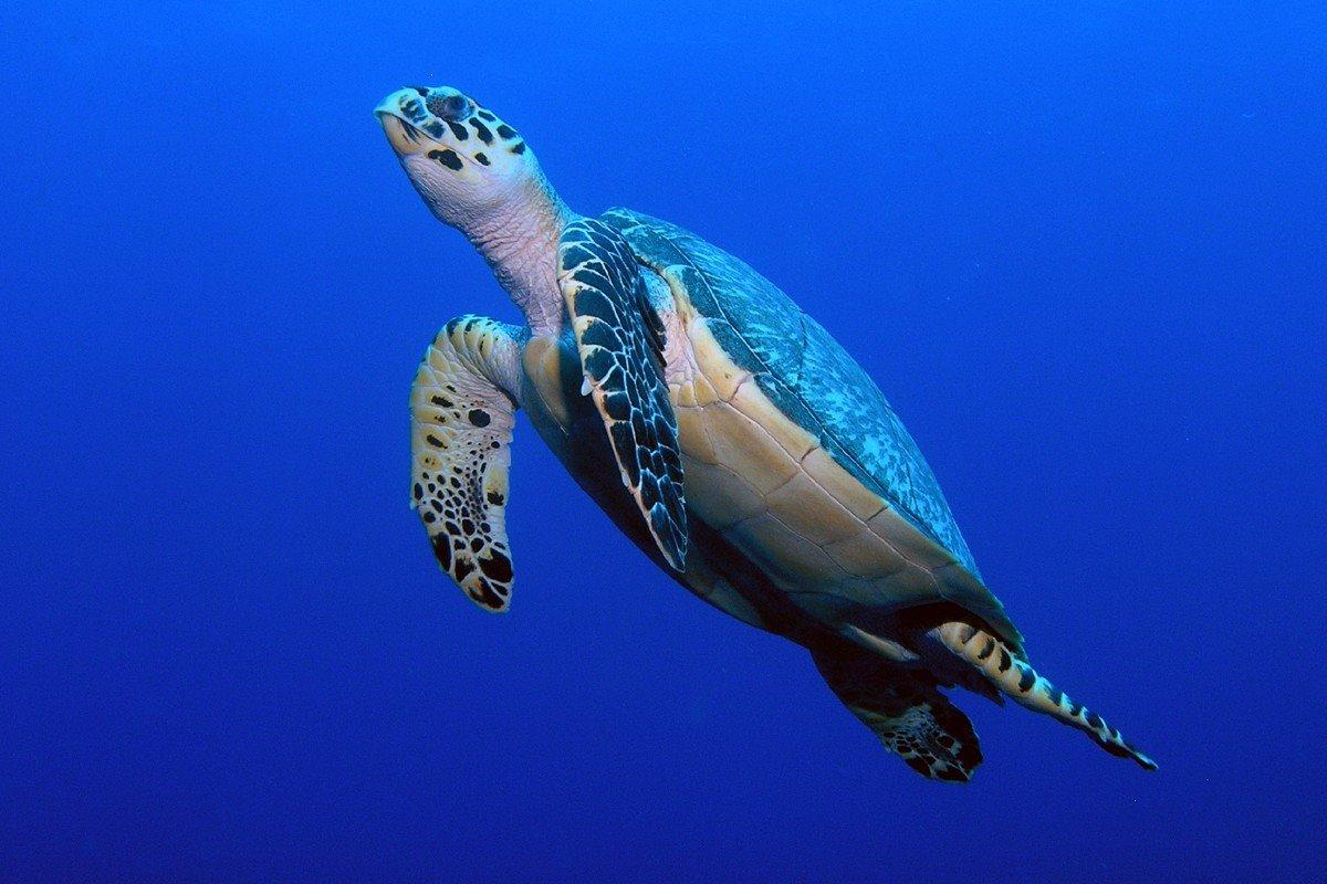 Schildpad in het blauw Cozumel Mexico