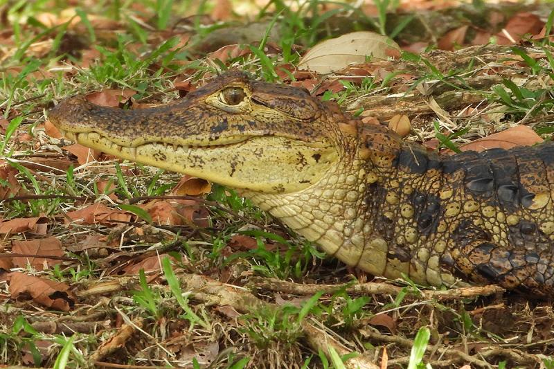 Kleine alligator