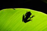 Costaricaans gifkikkertje achter blad