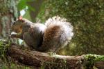 Grote gevlekte boomeekhoorn