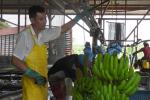 Bananenplantage La Fortuna