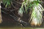 Slangenhalsvogel vangt vis